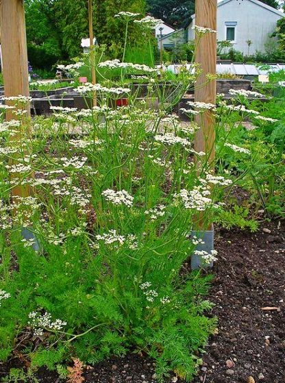 Herbs, Perennial - Caraway photo by H. Zell - St. Clare Heirloom Seeds