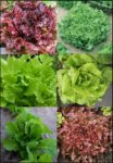 Lettuce, Blends - Lettuce Blend 1 - St. Clare Heirloom Seeds