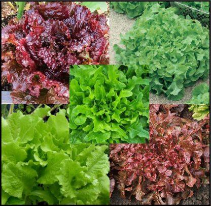 Lettuce, Blends - Lettuce Blend 2 - St. Clare Heirloom Seeds