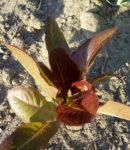 Lettuce, Leaf - Cimmaron - St. Clare Heirloom Seeds