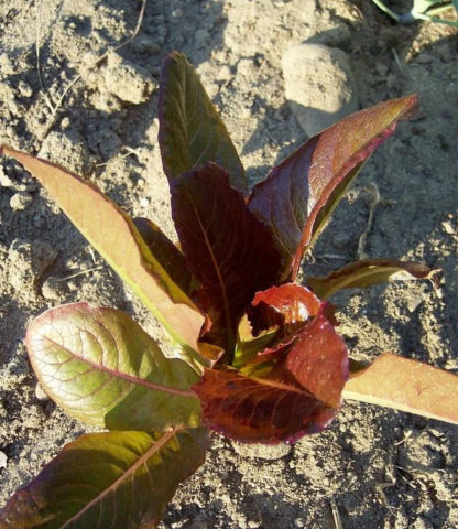 Lettuce, Leaf - Cimmaron - St. Clare Heirloom Seeds