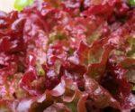 Lettuce, Loose Leaf - Flame - St. Clare Heirloom Seeds