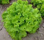 Lettuce, Loose Leaf - Grand Rapids TBR - St. Clare Heirloom Seeds