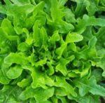 Lettuce, Loose Leaf - Oakleaf - St. Clare Heirloom Seeds