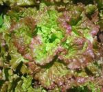 Lettuce, Loose Leaf - Prizehead - St. Clare Heirloom Seeds