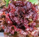 Lettuce, Loose Leaf - Ruby Red - St. Clare Heirloom Seeds