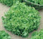 Lettuce, Loose Leaf - Salad Bowl - St. Clare Heirloom Seeds