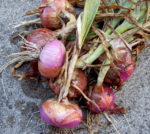Onion - Red Grano - St. Clare Heirloom Seeds