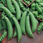 Pea, Edible Pod, Snap - Cascadia - St. Clare Heirloom Seeds