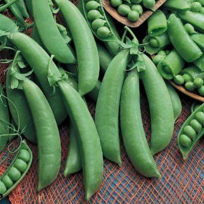 Pea, Edible Pod, Snap - Cascadia - St. Clare Heirloom Seeds