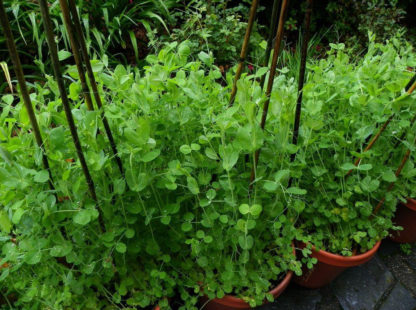 Pea, Snow Pea - Mammoth Melting Plants - St. Clare Heirloom Seeds