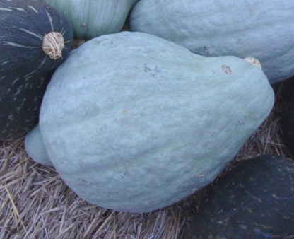 Squash, Winter - Blue Hubbard - St. Clare Heirloom Seeds