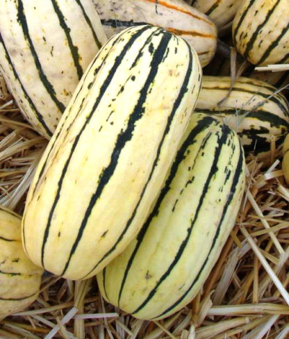 Squash, Winter - Delicata - St. Clare Heirloom Seeds