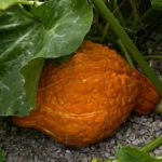 Squash, Winter - Hubbard Golden - St. Clare Heirloom Seeds