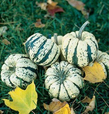 Squash, Winter - Sweet Dumpling - St. Clare Heirloom Seeds
