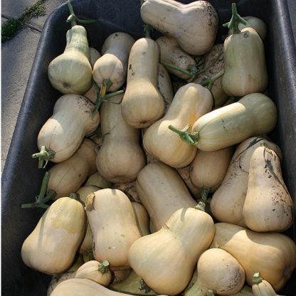 Squash, Winter - Waltham Butternut - St. Clare Heirloom Seeds - Photo credit Cheryl Netter