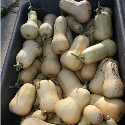 Squash, Winter - Waltham Butternut - St. Clare Heirloom Seeds - Photo credit Cheryl Netter