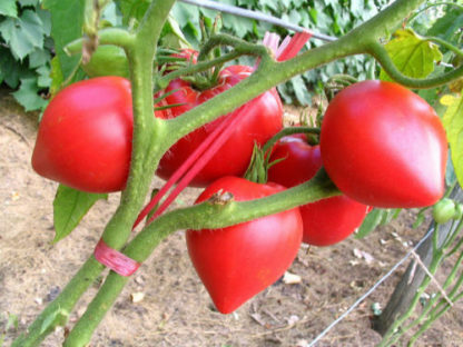 Tomato - Ann Russian - St. Clare Heirloom Seeds