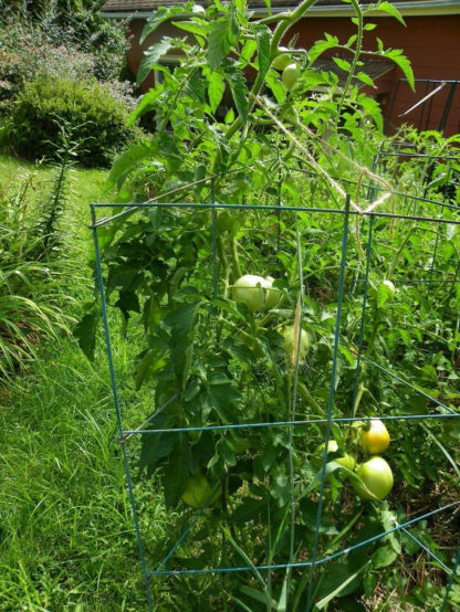 Tomato, Orange and Yellow - Golden Jubilee Plants - St. Clare Heirloom Seeds