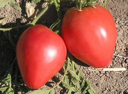 Anna Russian Tomato - St. Clare Heirloom Seeds