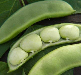 Fordhook 242 Lima Bean - St. Clare Heirloom Seeds