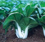 Pak Choi White Stem Chinese Cabbage - St. Clare Heirloom Seeds