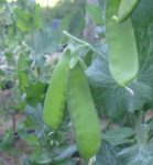 Pea, Snow - Oregon Sugar Pod II- St. Clare Heirloom Seeds