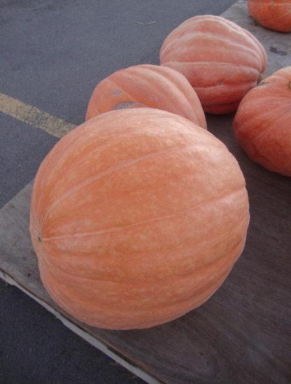 Pumpkin - Big Max - St. Clare Heirloom Seeds
