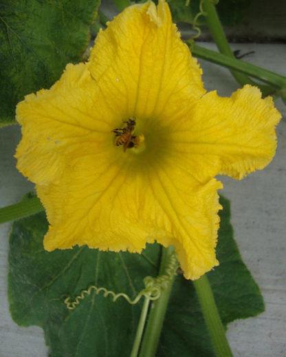 Pumpkin - Big Max Blossom - St. Clare Heirloom Seeds