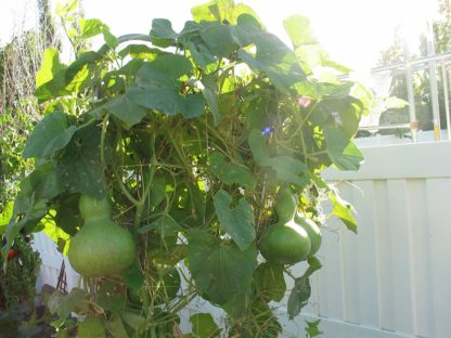 Birdhouse Bottle Gourd - St. Clare Heirloom Seeds