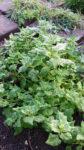 Green Malabar Spinach - St. Clare Heirloom Seeds Photo Credit RobynAnne