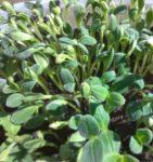 Borage Microgreen Seeds - St. Clare Heirloom Seeds