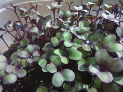 Cabbage, Red Acre Microgreen Seeds