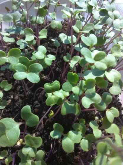 Broccoli Microgreen Seeds - St. Clare Heirloom Seeds