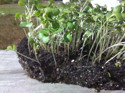 Collard Champion Microgreen Seeds - St. Clare Heirloom Seeds