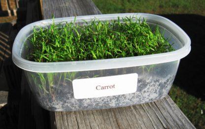 Carrot Microgreen - St. Clare Heirloom Seeds