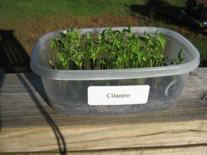 Cilantro Microgreen - St. Clare Heirloom Seeds