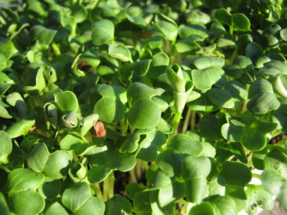 Radish, Daikon Microgreen - St. Clare Heirloom Seeds