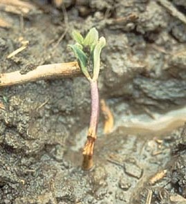 Damping Off of a heirloom garden seedling - St. Clare Heirloom Seeds