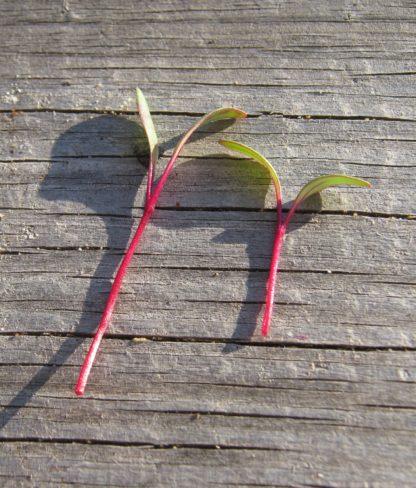Beet, Detroit Dark Red Microgreen - St. Clare Heirloom Seeds