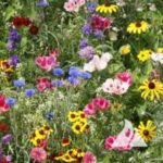 Flower - Wildflowers - Hummingbird and Butterfly Mix - St. Clare Heirloom Seeds