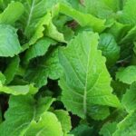 Mustard Greens - Florida Broadleaf - St. Clare Heirloom Seeds