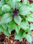 Herb - Basil - Persian - St. Clare Heirloom Seeds