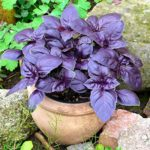 Herb - Basil - Purple Dark Opal - St. Clare Heirloom Seeds