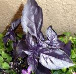 Herb - Basil - Red Rubin - St. Clare Heirloom Seeds
