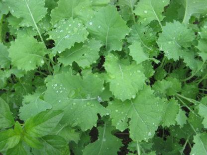 Kale - Siberian - St. Clare Heirloom Seeds