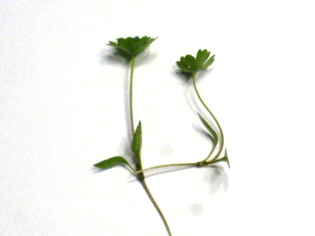 Parsley Microgreens - St. Clare Heirloom Seeds