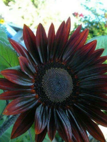 Flower - Sunflower - Chocolate Cherry - St Clare Heirloom Seeds