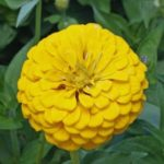 Flower - Zinnia - Canary Bird - St. Clare Heirloom Seeds