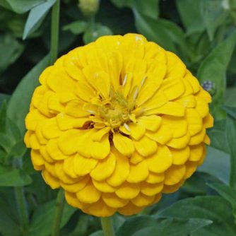 Flower - Zinnia - Canary Bird - St. Clare Heirloom Seeds